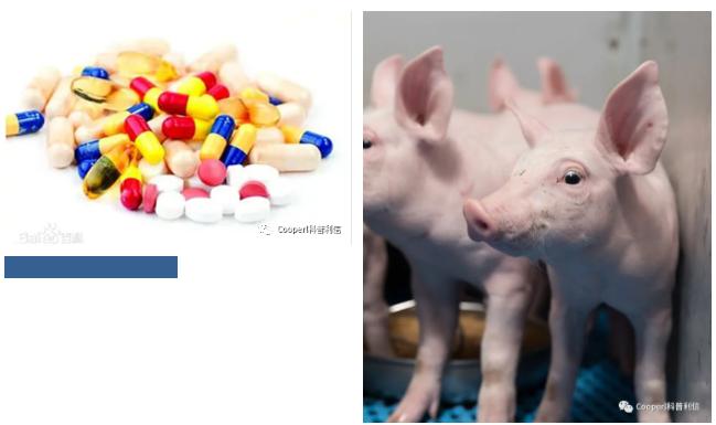 """Cooperl科普利信:""""无抗""""生猪养殖,从法国到中国的无抗养殖!"""