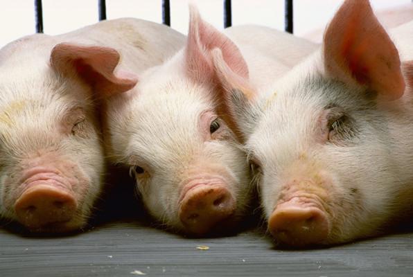 农业部最新数据:4月第1周仔猪价格出炉,已连跌两周,平均价格92.08元/公斤