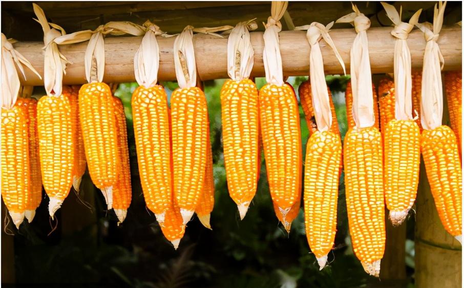 """玉米涨上""""热搜榜"""",马上1.5元了,4月玉米要翻盘?经销商这么说"""