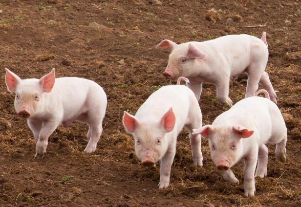 震惊!冲绳发现七千年前已有大量家猪,或从中国大陆带入!