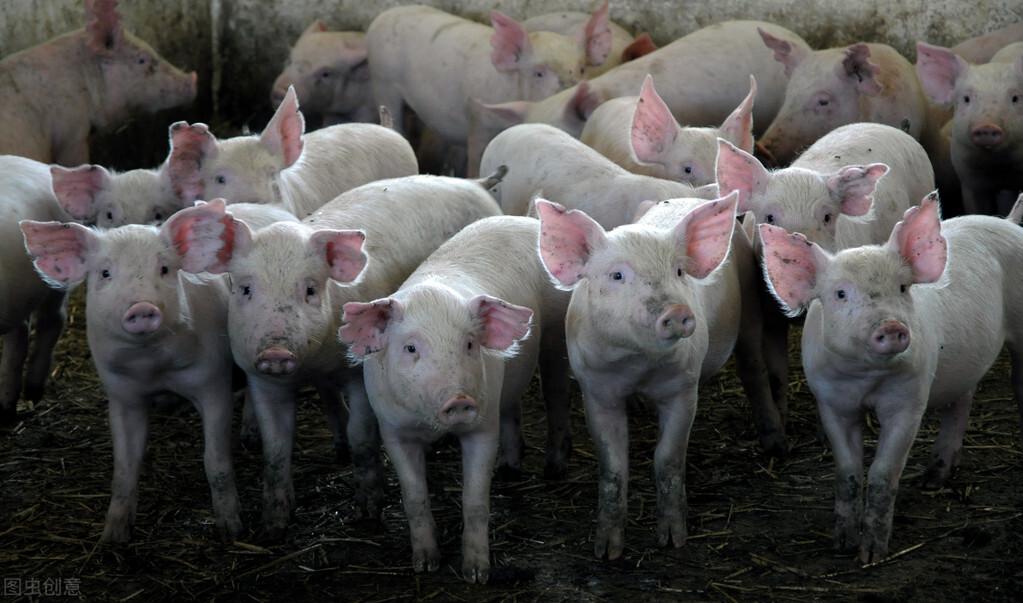 专家访谈:炎症科普,猪场最熟悉的炎症背后有大学问