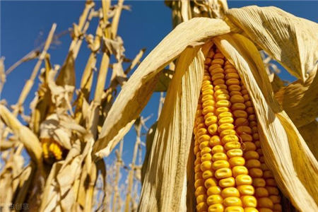 """玉米、豆粕价格下跌,带动饲料降价潮? 养殖企业:二季度终于可以""""喘口气"""""""