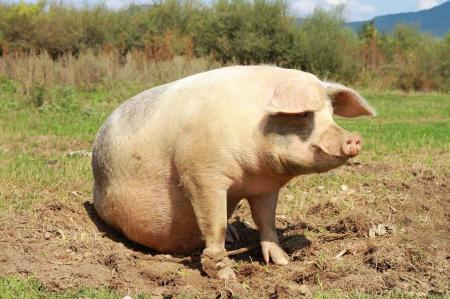 影响母猪繁殖性能的因素主要包括遗传、营养...这5点,你知道吗?
