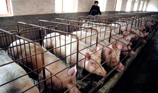 老鼠对猪场的危害不止饲料损耗,还有其他更严重的隐患