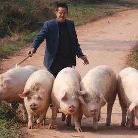 猪场母猪不发情,养猪人该如何解决?有何妙招?
