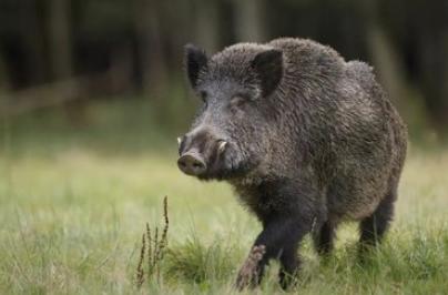 野猪的破坏力究竟有多大?美国每年损失15亿元,澳大利亚每年损失...