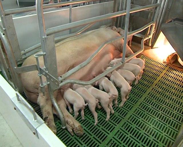 母猪生的多,仔猪成活率却不高,到底咋回事?