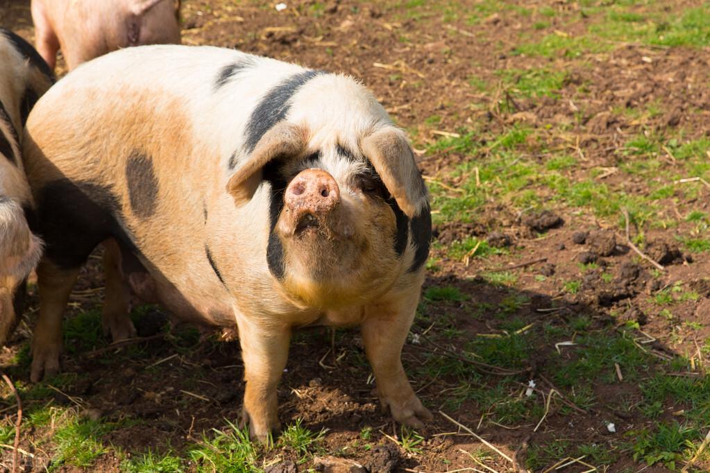 夏季猪场母猪不发情、子宫炎多发,是因为什么?看养猪人怎么见招拆招!