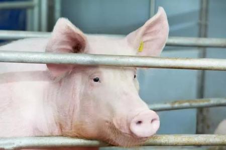 卓创红期:猪价虽跌后反弹 盈利值属近两年最低