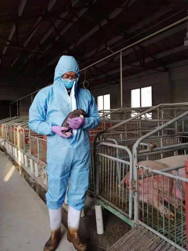 饲养员查看克隆猪生长情况