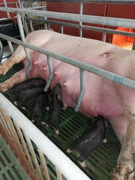 克隆猪和受体母猪