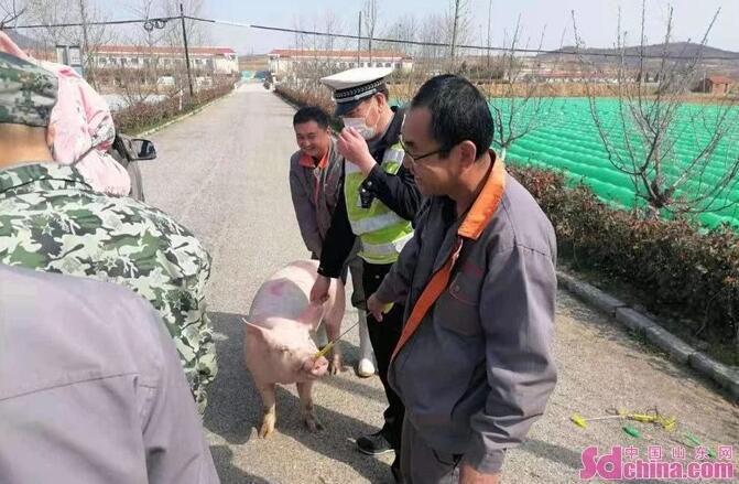 """山东:生猪跳车企图逃跑,路上乱窜被交警""""驯服""""!"""