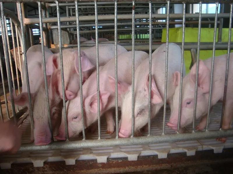 """证券日报:""""猪周期""""走入下行通道,仔猪养殖育肥价格跌破成本线!"""