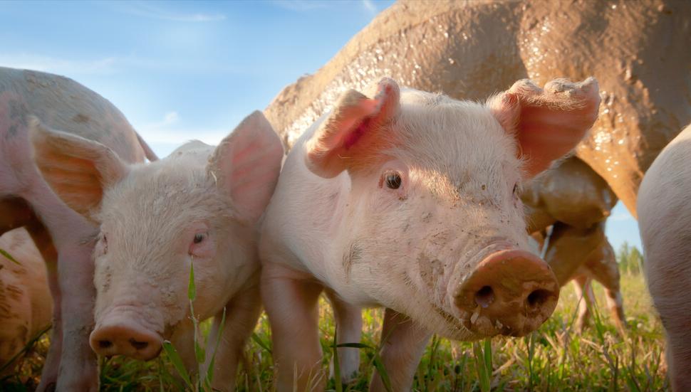 4月15日10公斤仔猪价格,猪价涨,仔猪价跌想补栏的人占大多数?