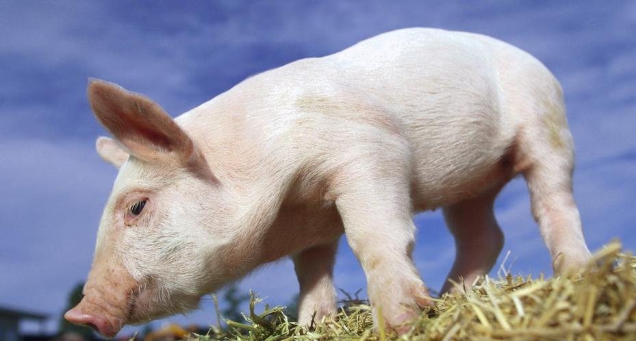 母猪流产、猪场弱仔多...是因为饲料营养不足还是应激因素?