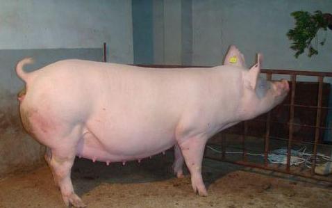2021年04月15日全国各省市种猪价格报价表,国内种猪市场形势不明,国外巴马香猪又来凑热闹?
