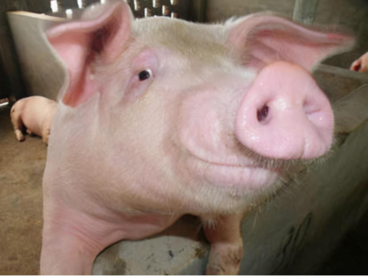 母猪配种后流白色液体是什么原因?怎样辨别母猪子宫发炎?