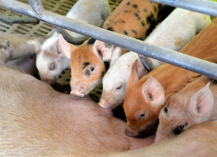 母猪产后无乳怎么办?母猪产后吃什么奶水多?这几种方法效果好