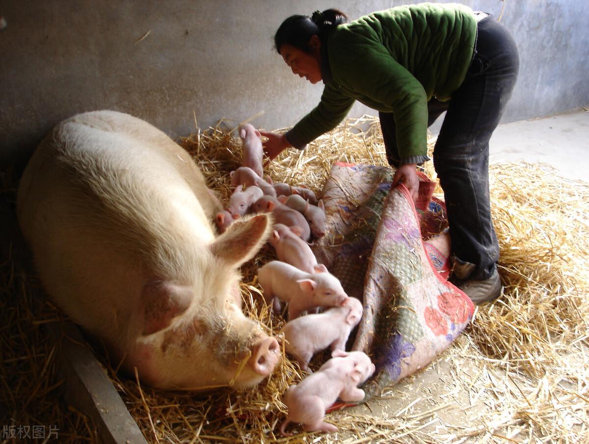 猪场如何让母猪不生病,多下崽,养猪人应该怎么办?