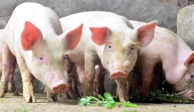4月16日全国土杂猪生猪价格行情涨跌表,市场价格动荡上调,猪价风险陡增