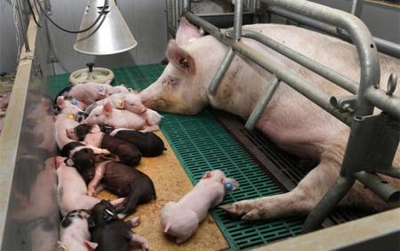 你知道吗?母猪乳房疾病不及时治疗,会影响仔猪的生长发育!