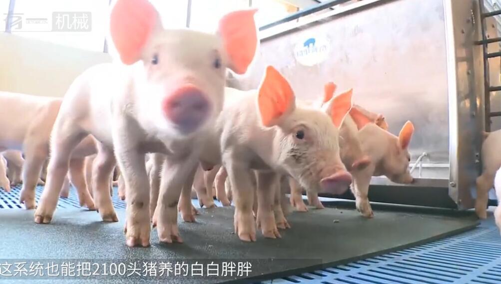 国外养猪场智能化喂猪太先进,无人管理4000头猪无压力,颠覆想象!