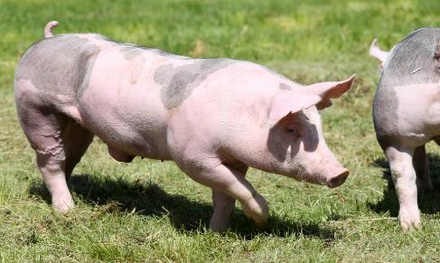 仔猪价格大涨,新希望VS牧原一季度报见分晓,业绩冰火两重天?