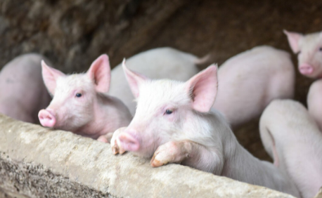 何为Ct?跟养猪有啥关系?这一文能给你解疑答惑