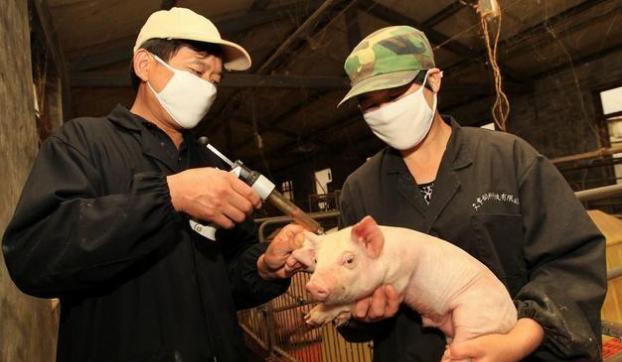 仔猪的日常保健策略,教你科学保健,这一篇文章讲得很透彻!