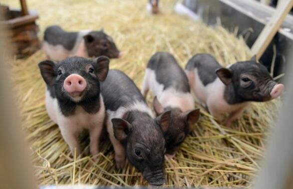 """四川:猪肉重回""""10元+""""时代,买了一斤猪肉,如何影响CPI?"""
