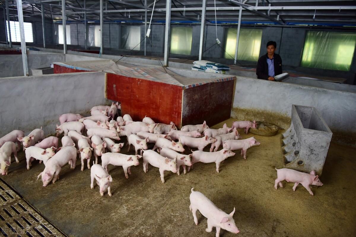 猪体温多少是正常的?猪体温低于38度,不吃食怎么办?