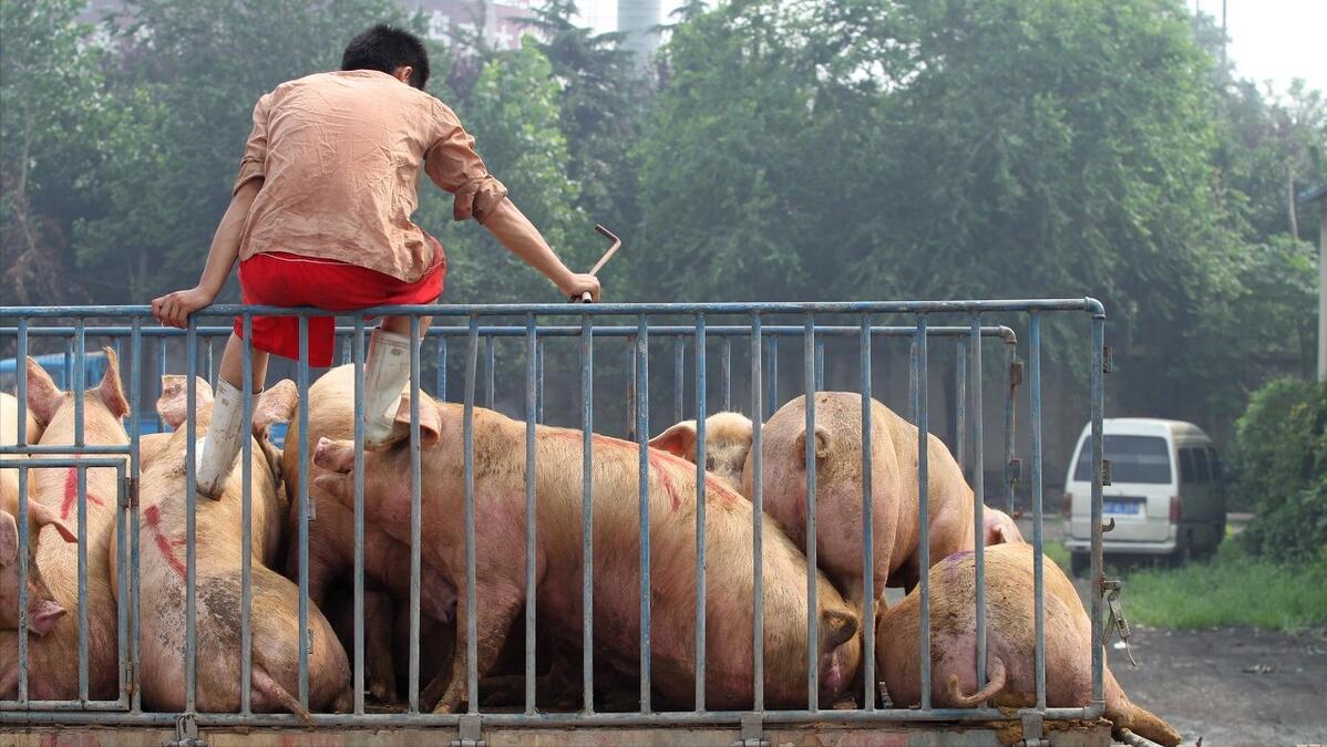 """4月20日生猪价格:东北猪价一片红,垂死挣扎亦或逆风翻盘?专家:""""出大留小""""为宜"""