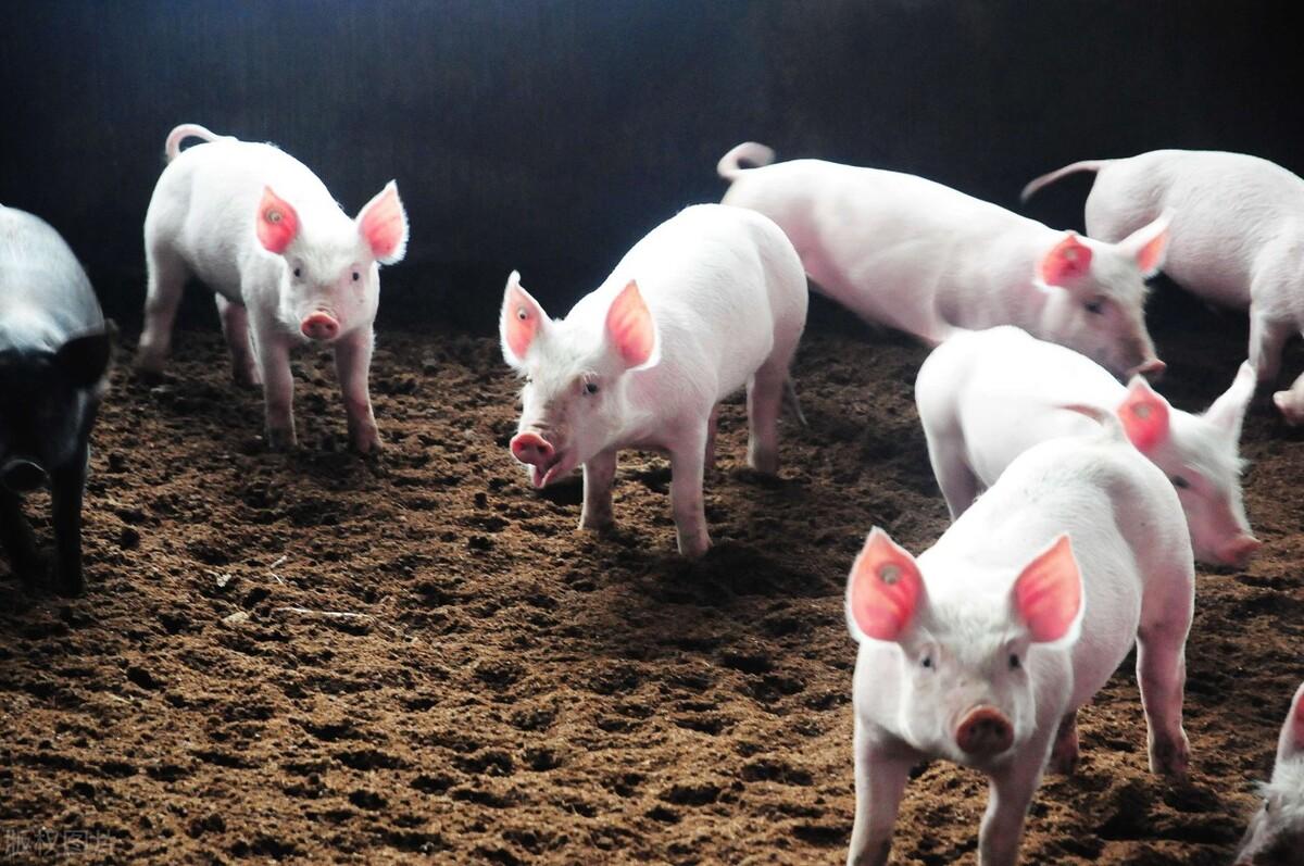 """猪价下跌陷入死循环,换个角度看""""生猪""""行业?行业人士:机会与风险并存"""