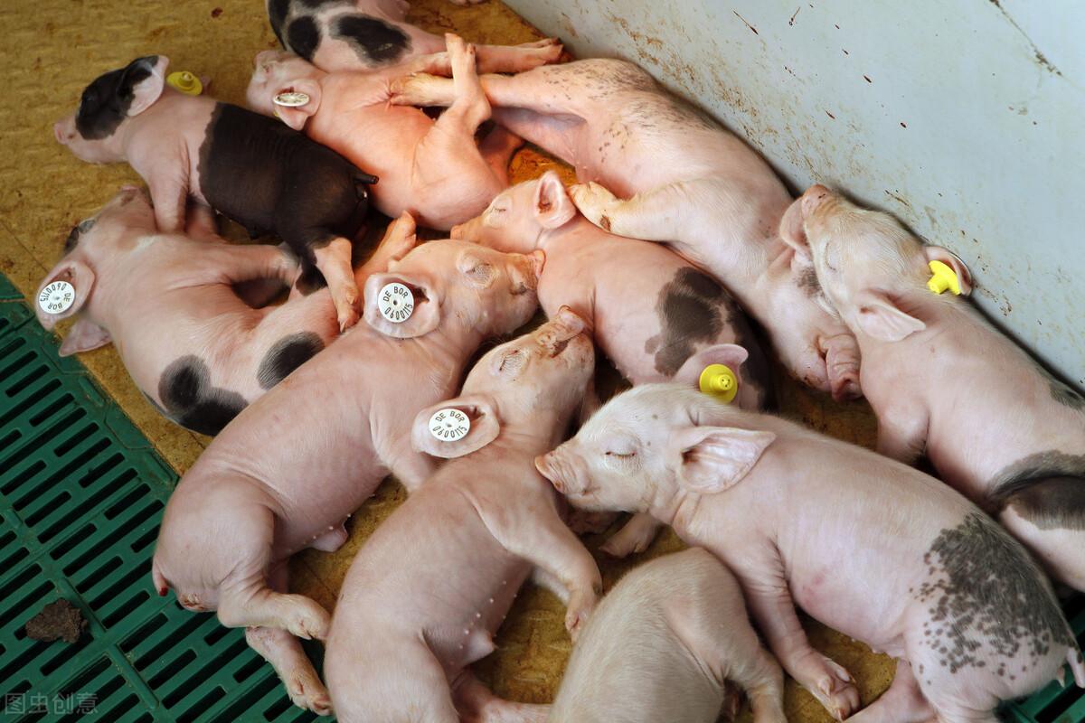 仔猪存在缺铁性贫血,是现阶段养猪业正在面临的问题!养殖户:需怎么使用