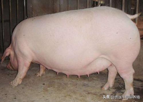 母猪产程长的原因 缩短母猪产程的有效方法