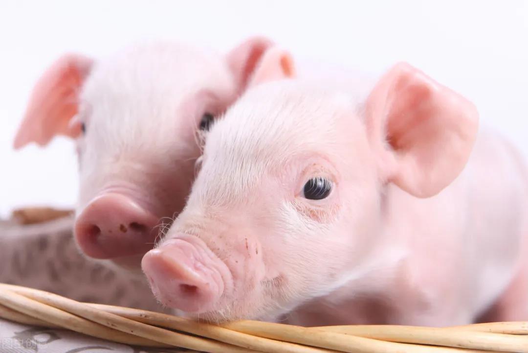 仔猪教槽料很重要,但是保育料也不能忽视奥!一定要注意以下四点!
