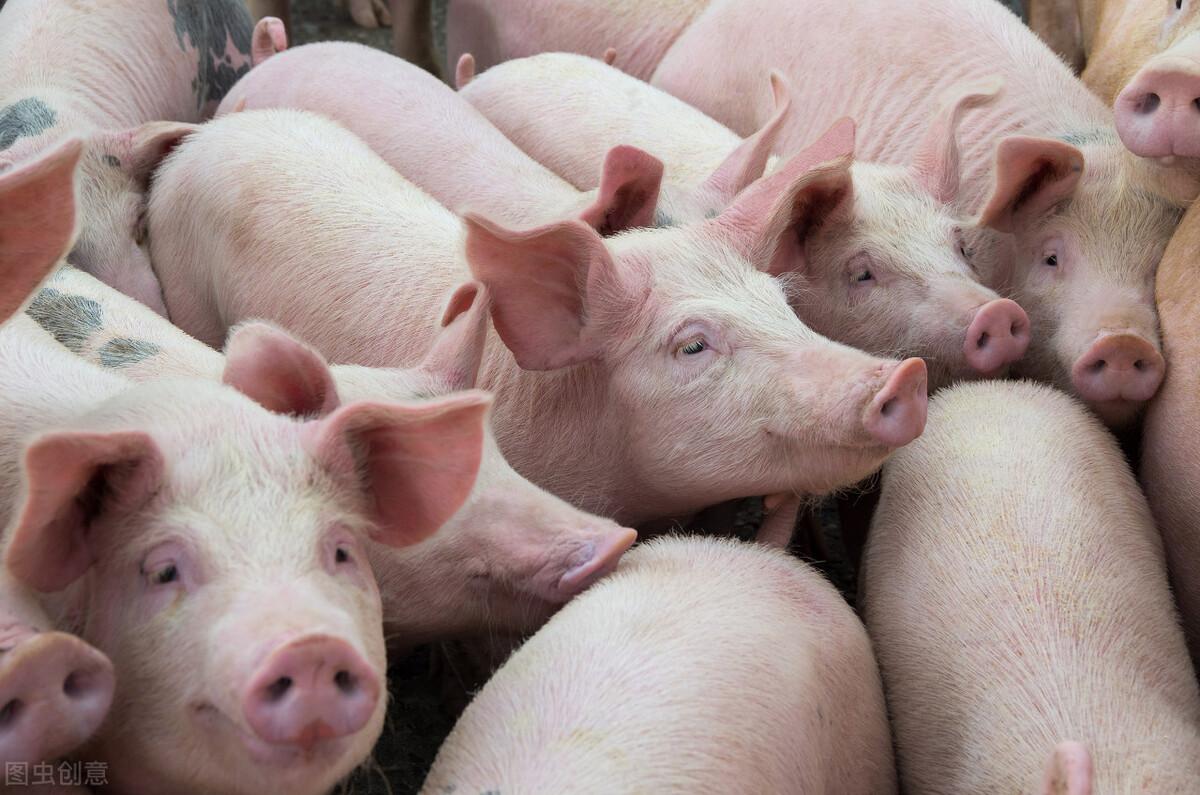 非瘟病毒能在水里存活140天!雨季更应严防死守,做好猪场消毒