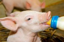 2021年04月21日全国各省市20公斤仔猪价格行情报价,生猪市场震荡,会连带影响仔猪市场?