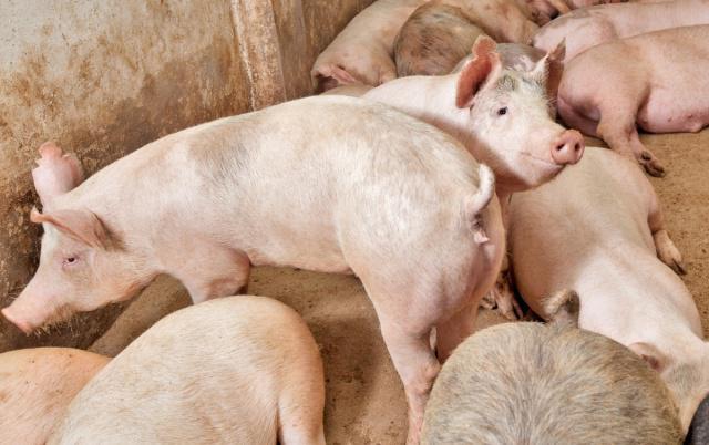 四川省生猪产能持续强势恢复,一季度存栏已达3992.1万头,同比增长33.7%!
