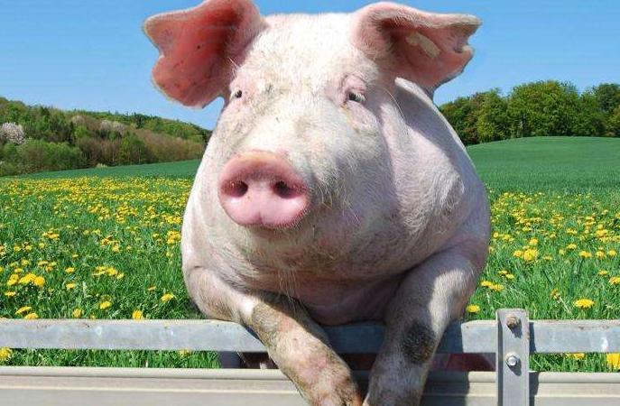 2021年04月22日全国各省市土杂猪生猪价格,猪价大范围飘红,南北呈现联动反弹!
