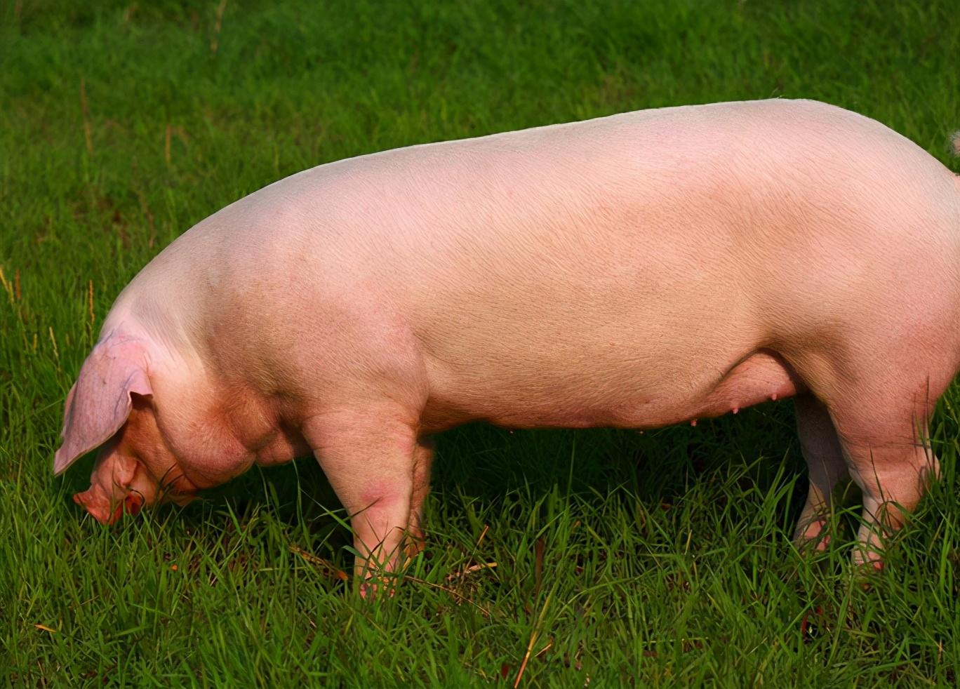 母猪配不上种什么原因?母猪为什么总是配不上种?这些千万别忽略