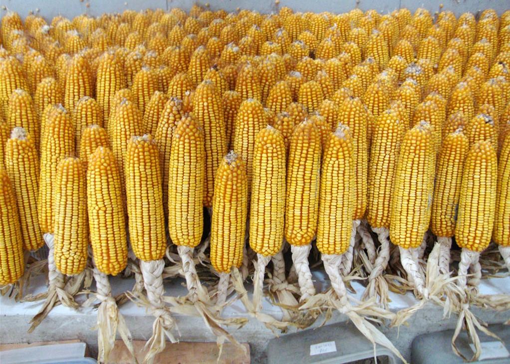 4月22日全国玉米价格行情,短期内玉米价格仍将维持横盘震荡的态势!