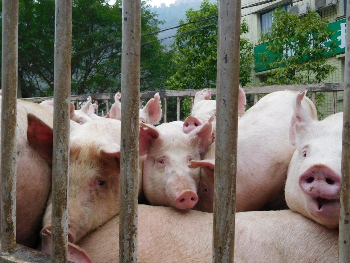 """4月23日生猪价格跌势继续""""蔓延""""!生猪跨区限调下,5月猪价有反转吗?"""