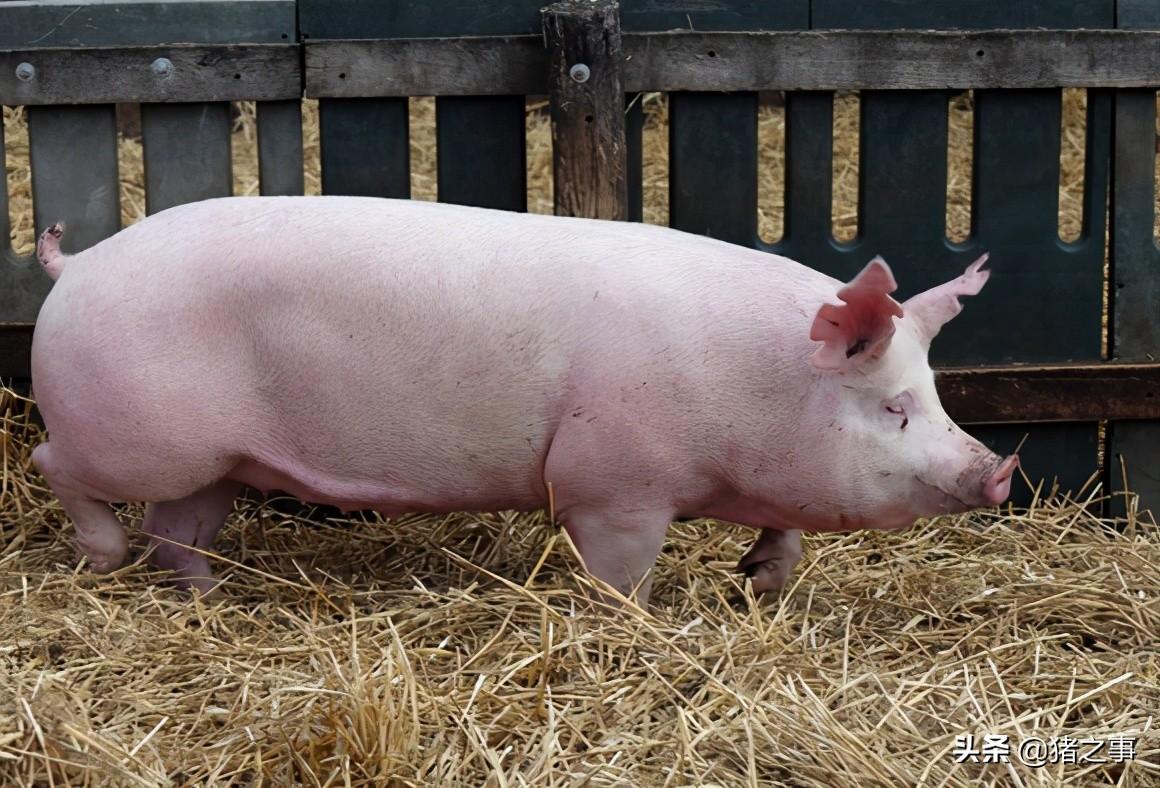 """母猪场容易忽视的一个问题""""蹄裂"""",是怎么回事?该如何防治好?"""