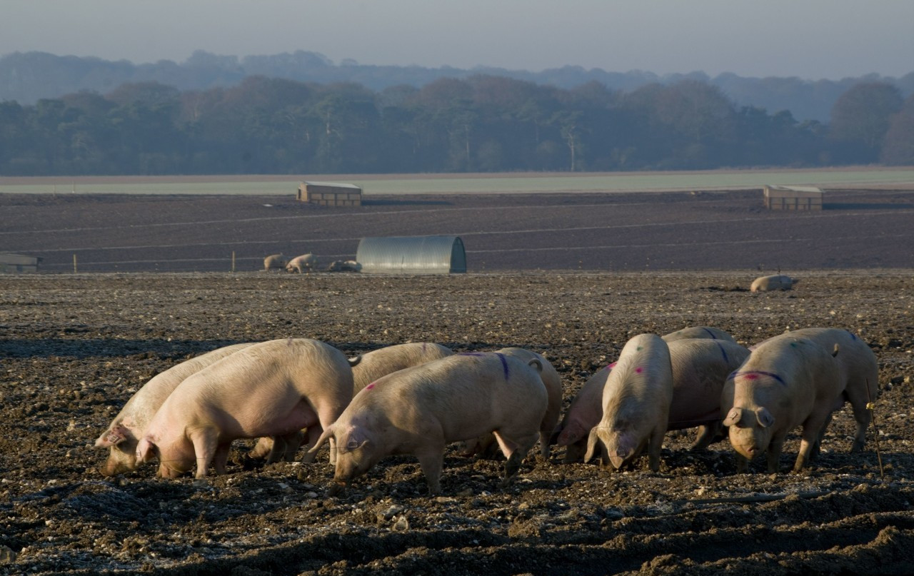 4月23日15公斤仔猪价格:仔猪连跌4周,一头跌了450元,为何没人要?