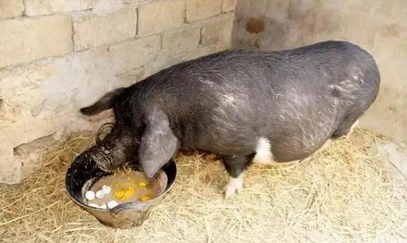 家家都有,拿来喂猪竟然有这么多好处,你知道吗?