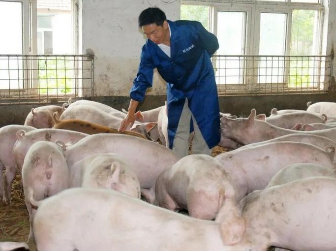 副猪什么症状?副猪嗜血杆菌首选用药?这样治疗效果好