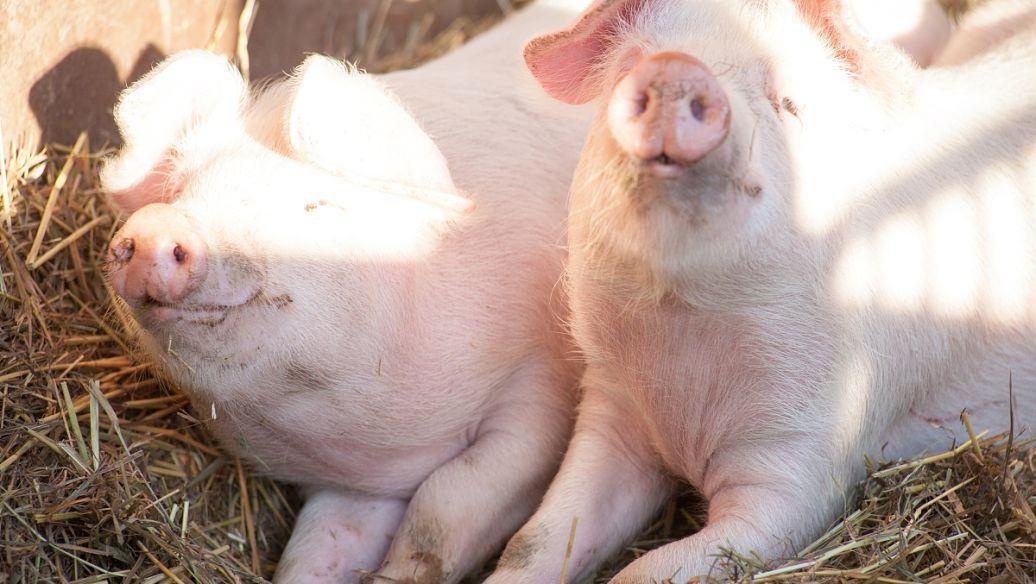 2021年04月23日全国各省市外三元生猪价格,猪价扎堆下跌,五一将报复性上涨?