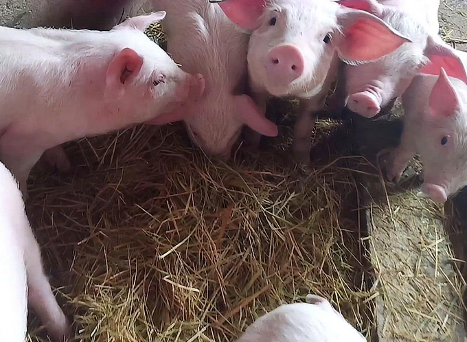 猪场覆盖消毒:主要适用于这4种场合,养猪人记好了