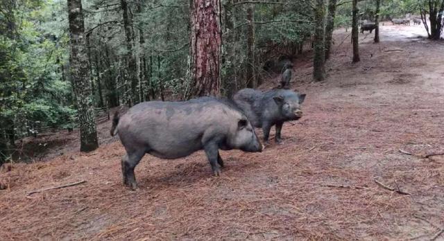 猪价12周报复性连跌!猪种危机之下,猪魔咒何时能解?